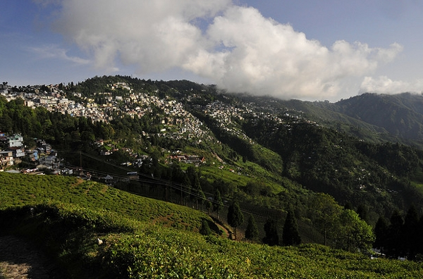 A tea plantation at Darjeeling