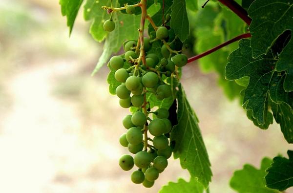 Kapadokya vineyard