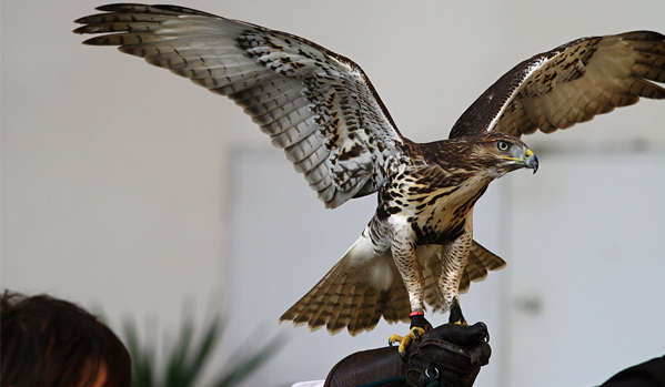 43th Falconry Meeting in Opočno, Czech republic, 7th to 9th October 2010