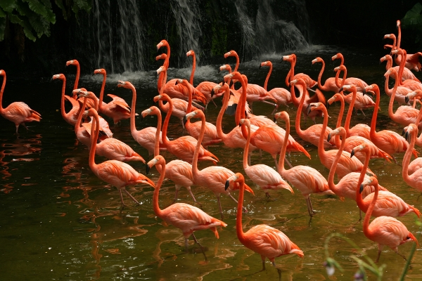 Herd of flamingos