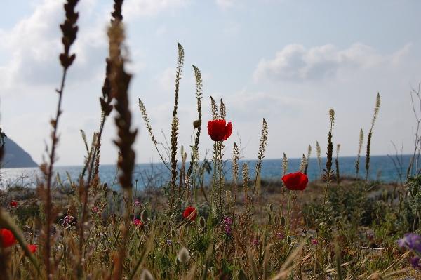 The wild flowers of Gyra beach, Greece