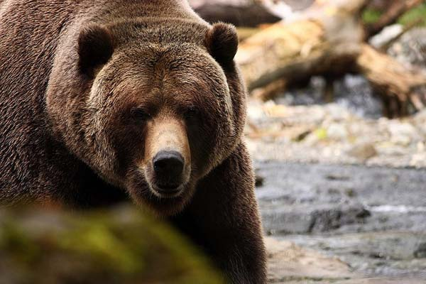 Brown bears have a perfect natural habitat in the Tatras mountains