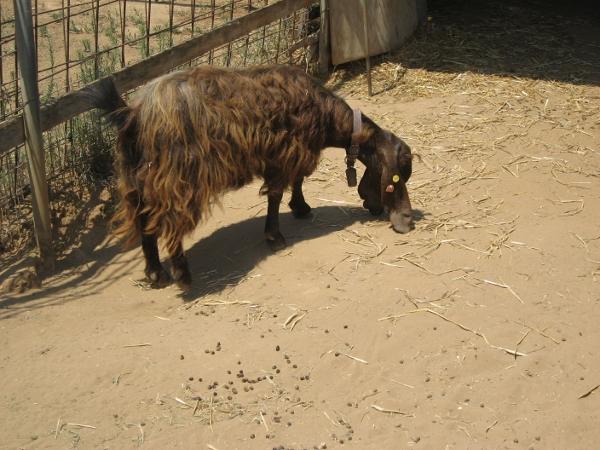 A village goat