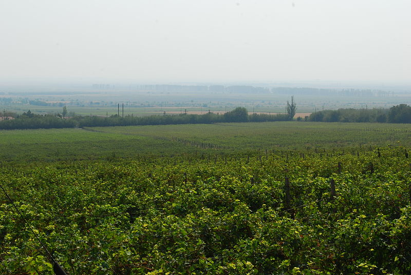 Buzau vineyard