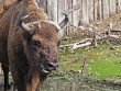 European bison at Bialowieza Forest © vrabelpeter1 - Fotolia.com