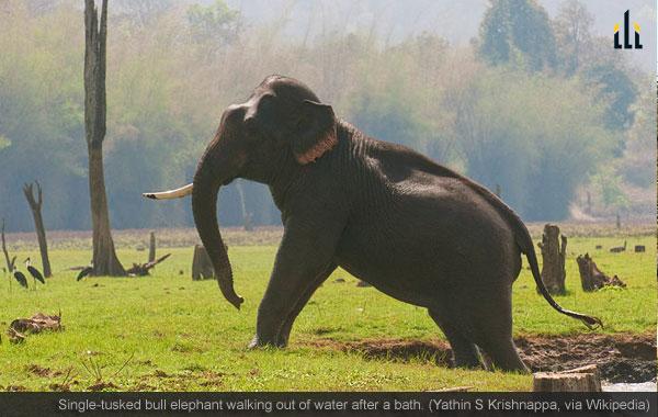 Single-tusked bull elephant
