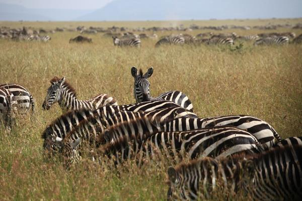Zebra grazing at Serengeti National Park. Courtesy Julyinireland