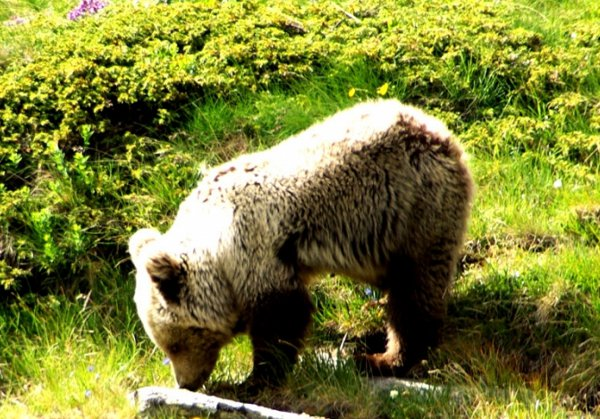 Shar Mountains bear finding food