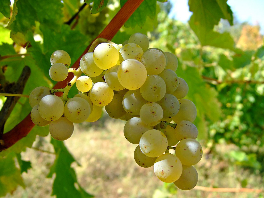 Sauvignon_blanc_vineyards-2