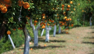 Orange Grove in the Botanical Park and Gardens, Fournes, Crete