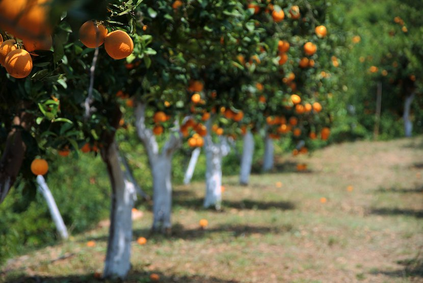 August Is for Celebrating the Garazo Citrus Festival