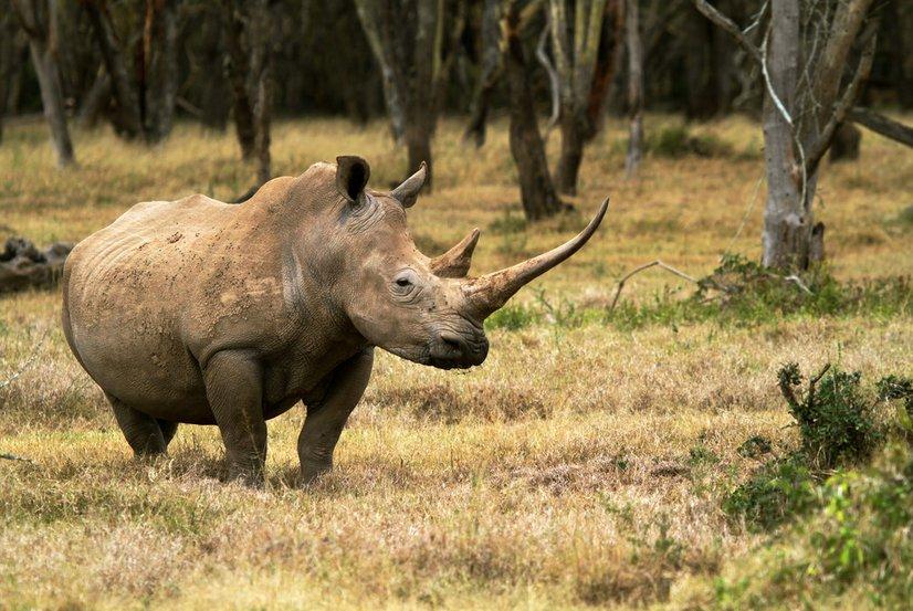 White Rhino - Courtesy Valentina Storti