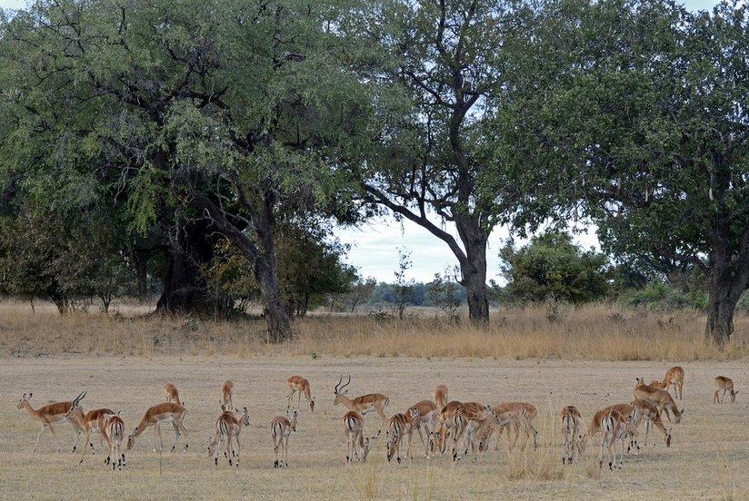 Small impala herd - by Geoff Gallice