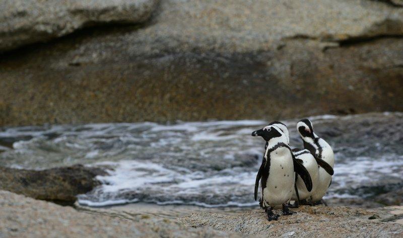 African penguin© Uryadnikov Sergey