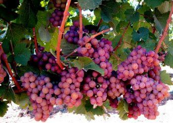 Fruit of Turkish wineries