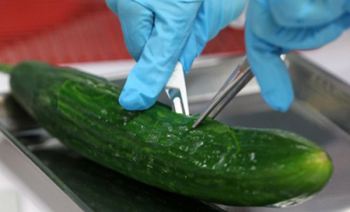 A biologist in Germany dissects a cucumber