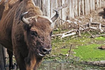 Białowieża Forest, Where Bison Have Come Back from the Brink