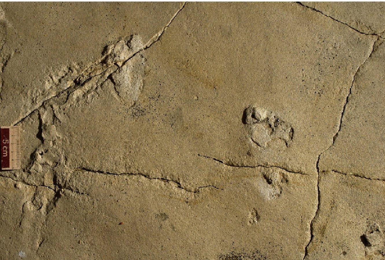 The fossilize footprints - courtesy Gerard D.Gierliński