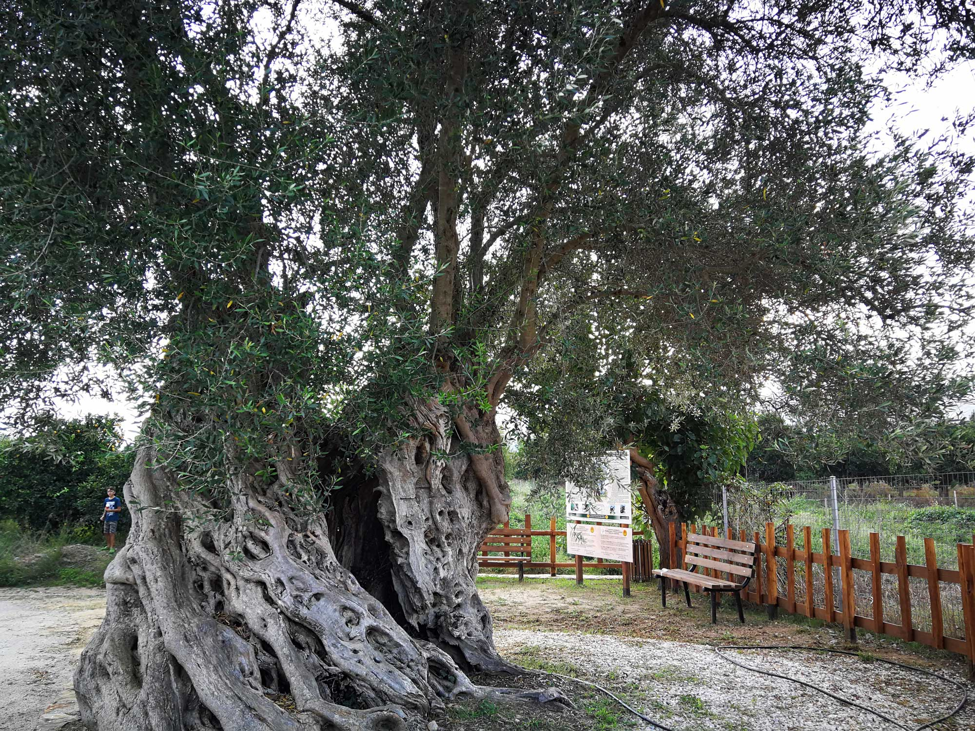 Elevated Olive Tree of Vatolakkos.