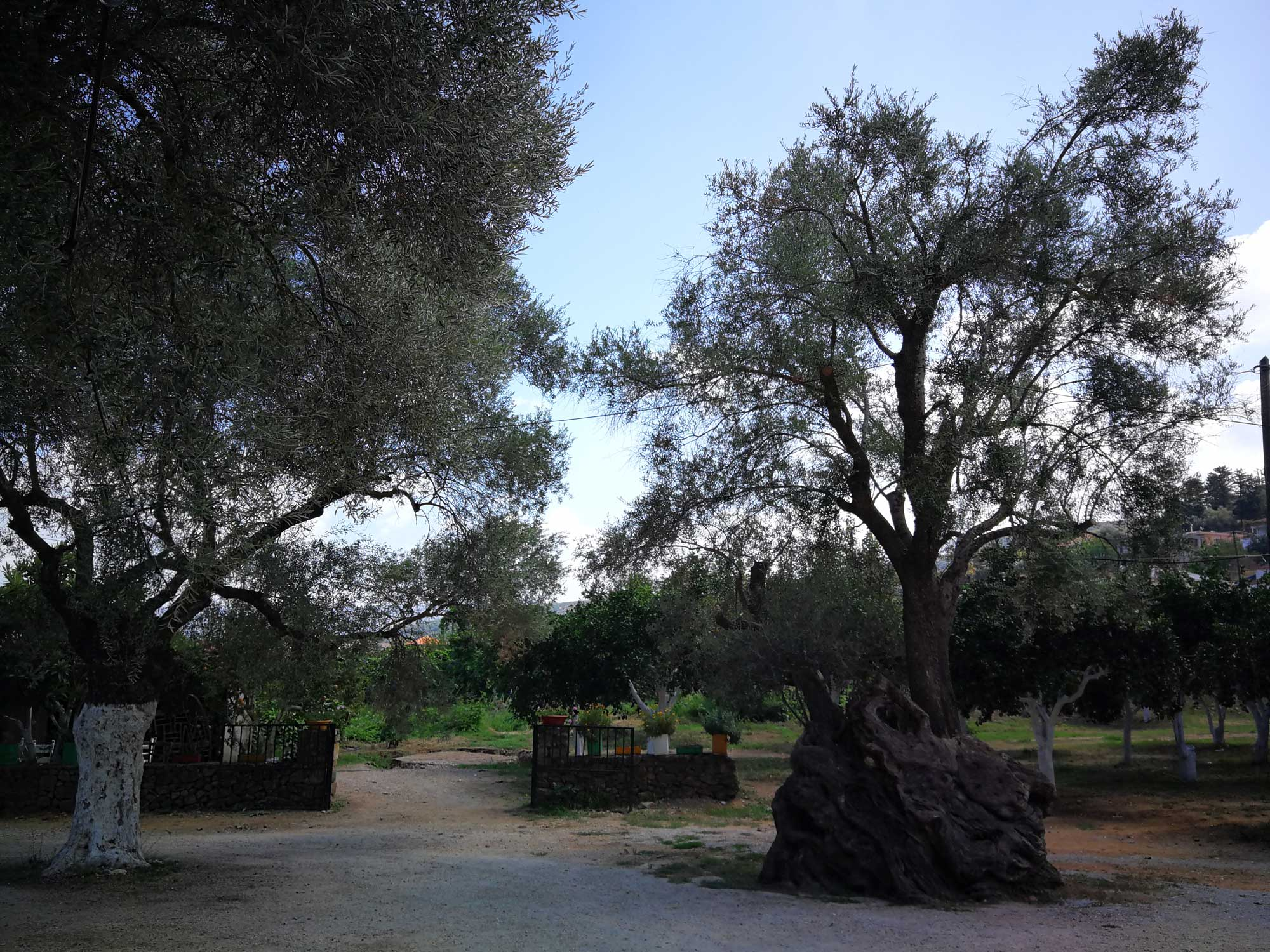 Manousakis Winery olive tree is 1200 years old.