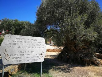 Monumental Olive Tree of Vouves