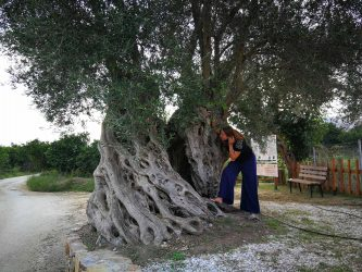 Elevated Olive Tree of Vatolakkos