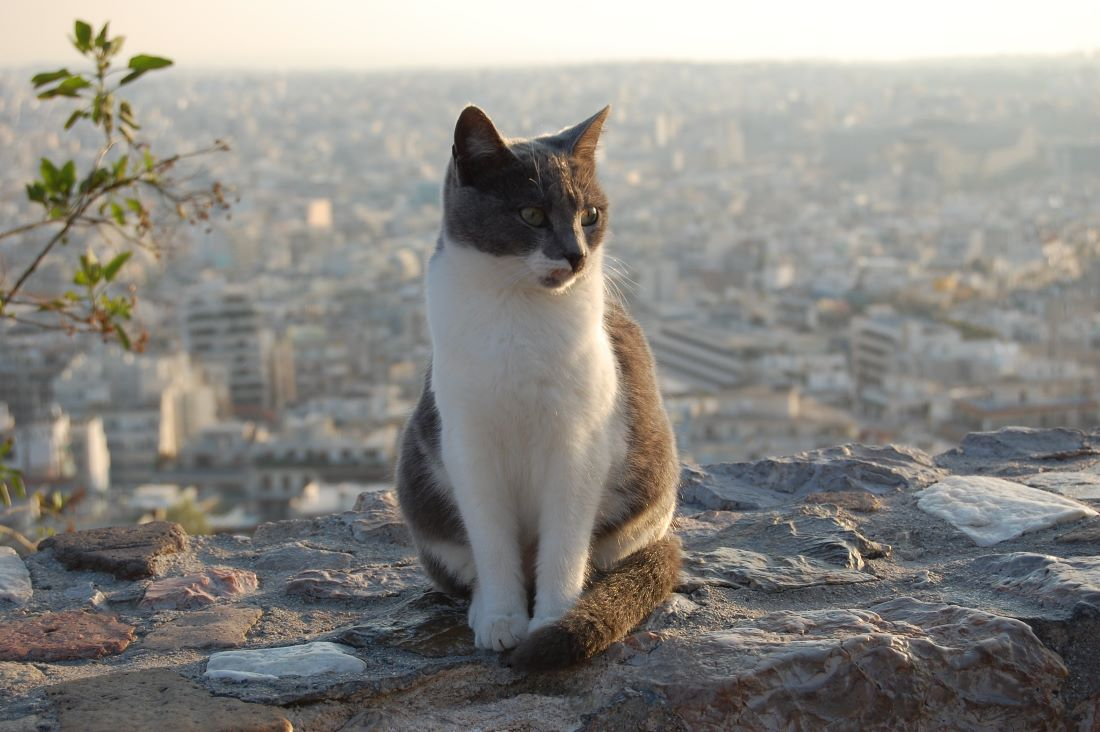 Acropolis cat waiting on sunset