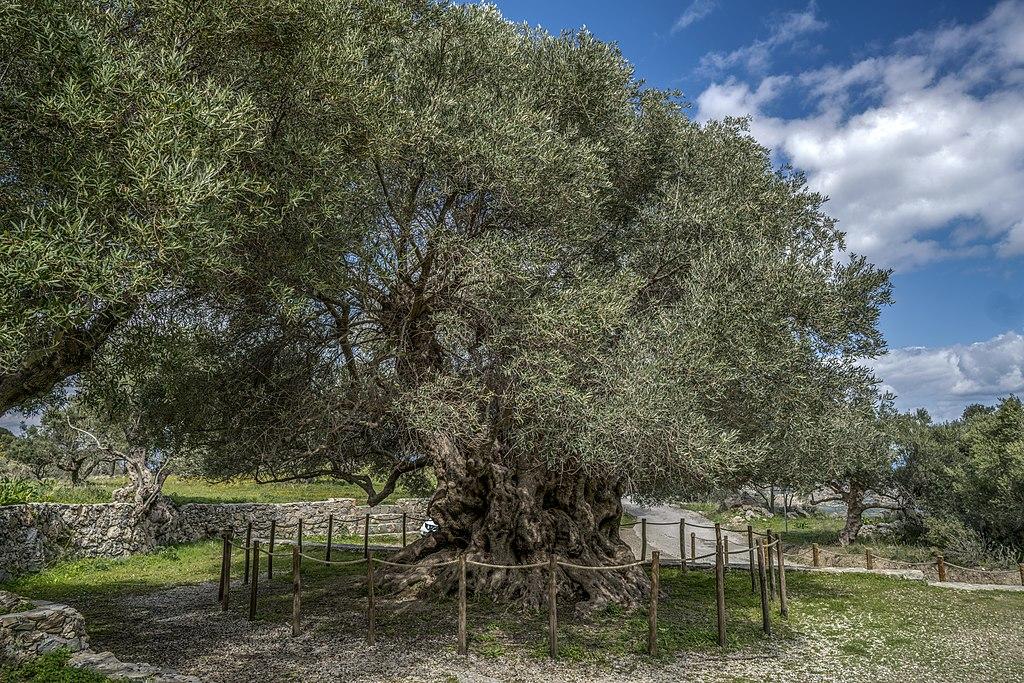 Kavoussi-Azorias olive tree