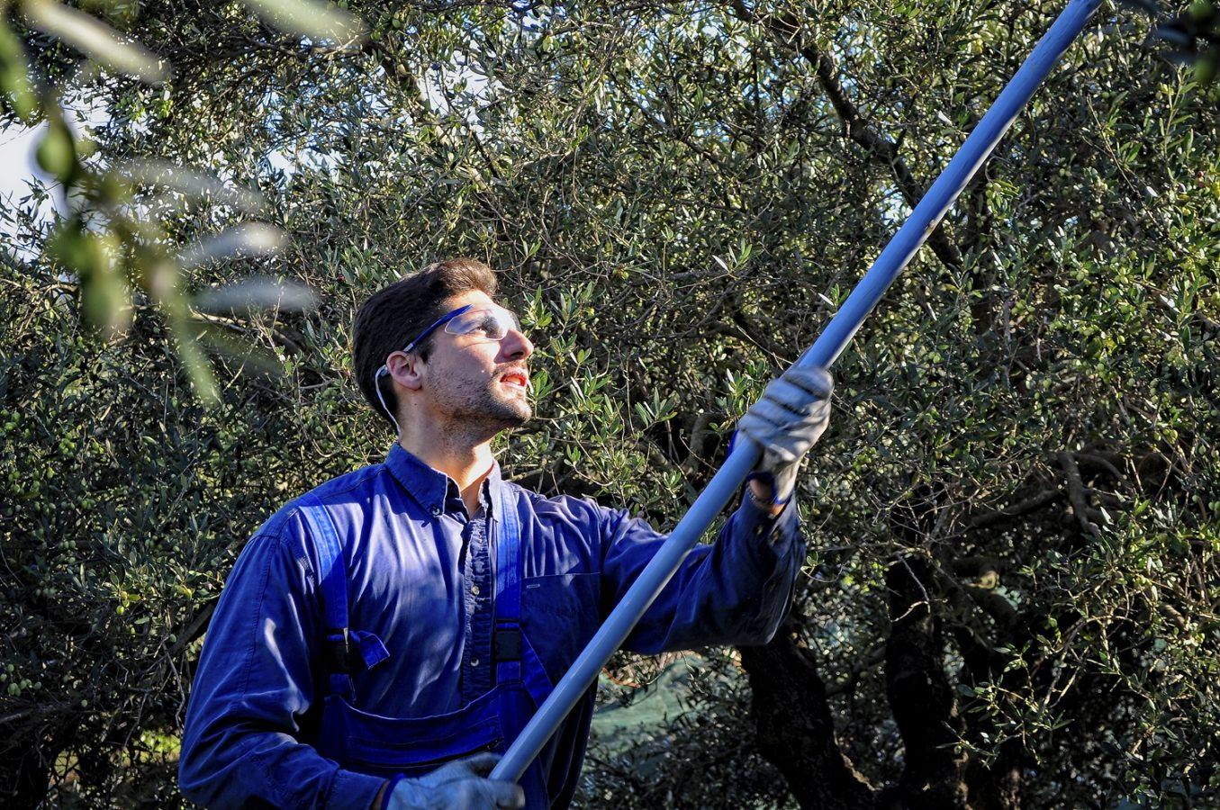 A Cretan man harvesting prime olives from trees outside Galatas Village