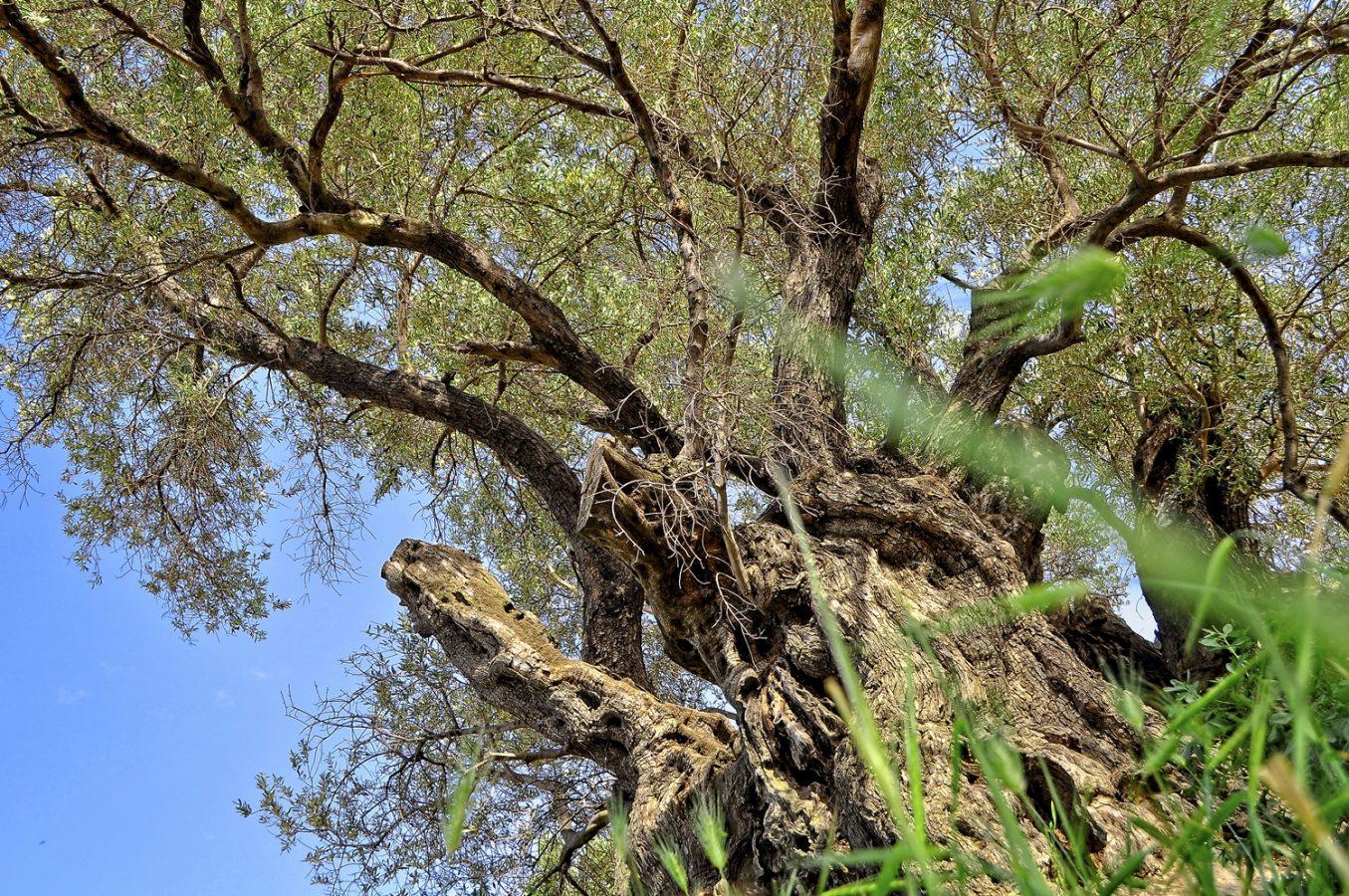 The Monumental Olive Tree of Paliama